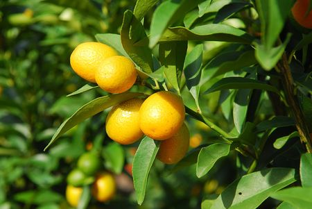 planta de naranja mandarina Foto de archivo - 4140885