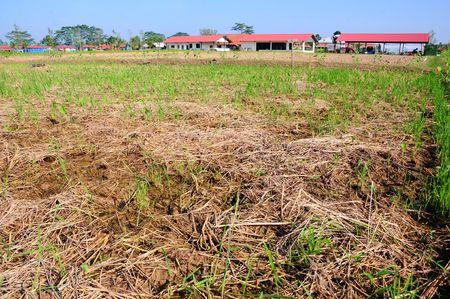 farm house: paddy field and farm house Stock Photo