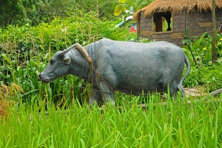 paddy field: buffalo in the paddy field