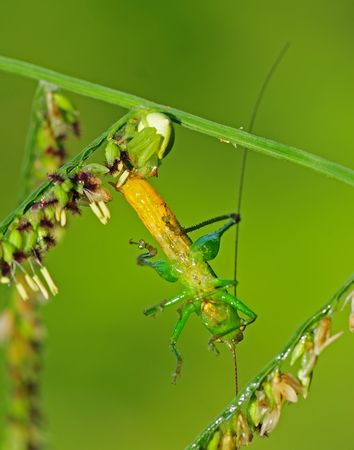 eight legs: crab spider eating a grasshopper Stock Photo