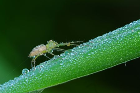lynx spider and dew photo