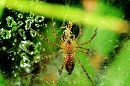 wolf spider eating an insect and dew Stock Photo