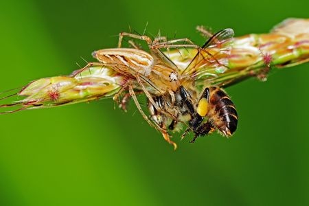 lynx spider eating a bee photo