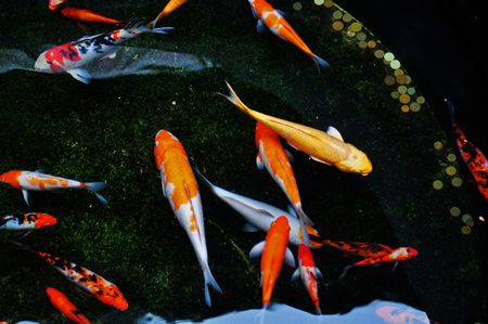 koi fish swim in the pool Stock Photo