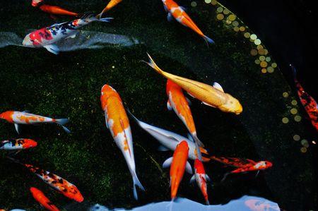 Koi vissen zwemmen in de pool Stockfoto
