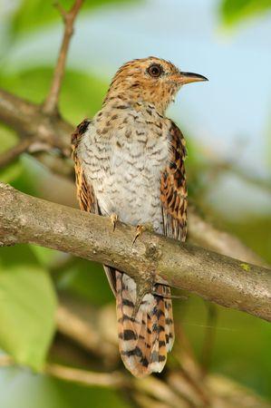 plantive cuckoo in the parks Foto de archivo