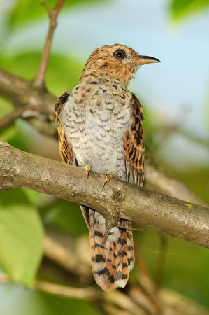 plantive cuckoo in the parks Stock Photo