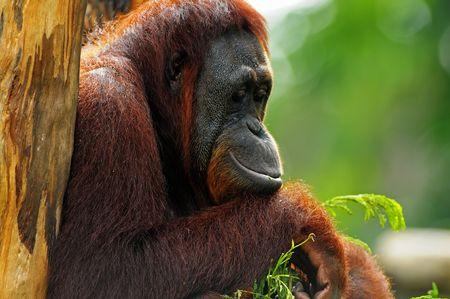 orang utan in the parks Stock Photo
