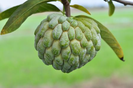 custard apple: custard apple fruit