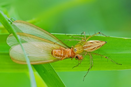 eight legs: lynx spider eating an insect