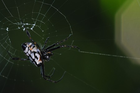 eight legs: orb web spider and web Stock Photo