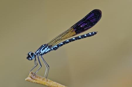 damselfly: Heliocypha perforata male damselfly Stock Photo