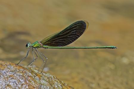 chinensis: Neurobasis chinensis, male, Green Metalwing damselfly