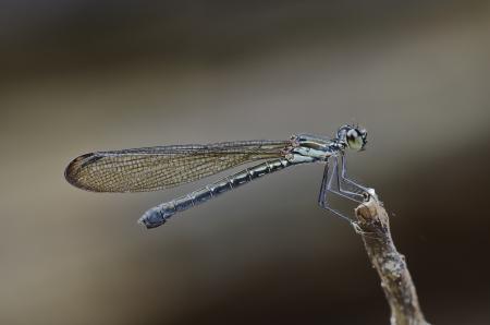 damselfly: Heliocypha perforata female damselfly