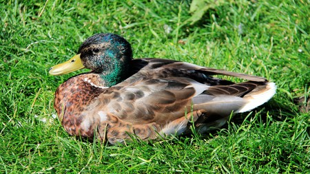 One male mallard relax on green grass in summer time