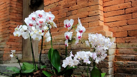 Bloom White Orchid In Bali House