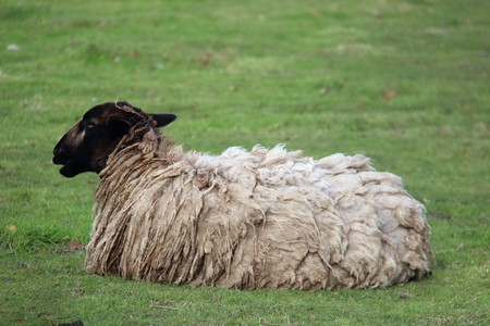 simple life: One Shaggy  Sheep Repose On Green Pasture