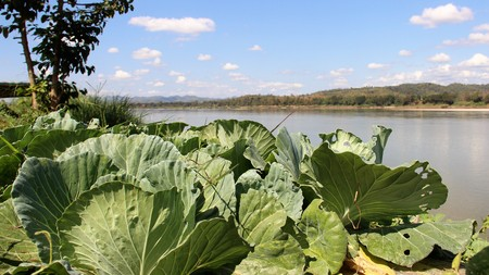 Organic  cabbage farm on mekong riverbank border between Laos and Thailand Stock Photo