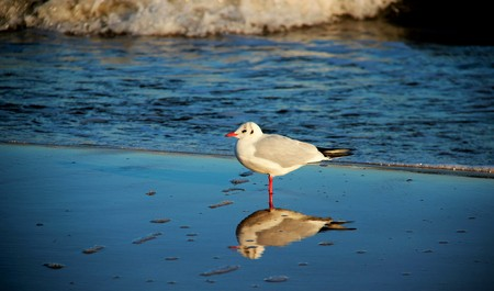 One seagull with reflection.  easy way and freedom of living