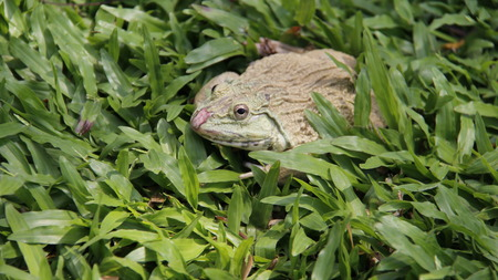 One Frog relax and sunbathe on green grass with warm sunshine. freedom of life. Thailand