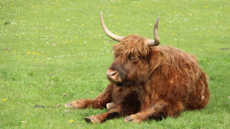 One Long Horns Bull Bison Repose On Green Fields With Blooming Wild Flowers