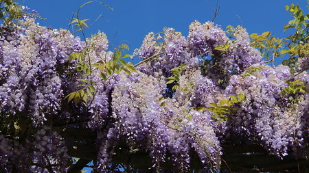Purple White Wisteria Blooming During Springtime. Crabapples Blossoming