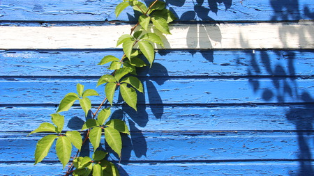 Blue Wooden Wall Of Small Hut With Green Leaves Of Climbing Plants
