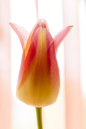 springy: Fresh Pink tulips - selective focus