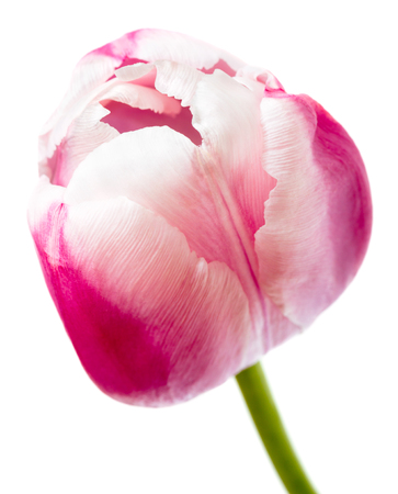 design background: Beautiful pink tulip isolated on white