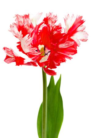 Rode en witte papegaai tulip geïsoleerd op wit