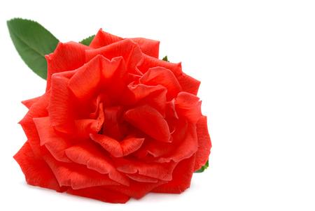 Rode Rose Geïsoleerd op wit