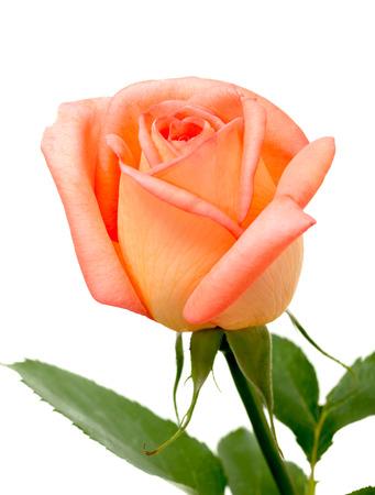enkele oranje roos geïsoleerd op witte achtergrond