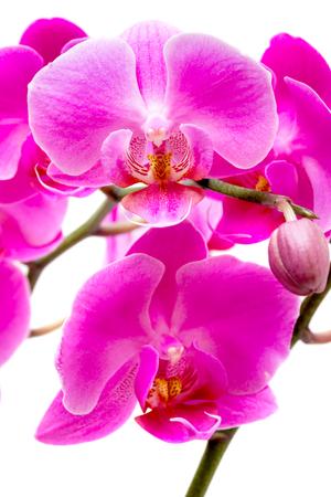 Purpere orchidee die op witte achtergrond wordt geïsoleerd