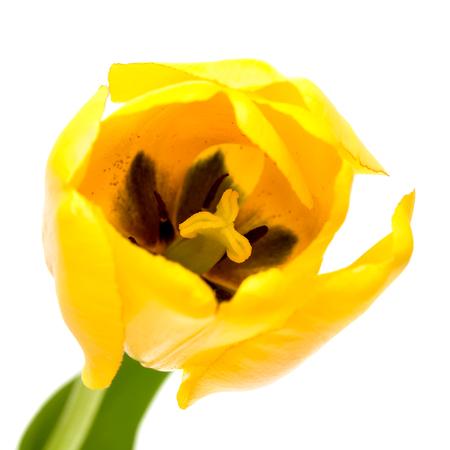 Gele tulp geïsoleerd op de witte achtergrond. Stockfoto