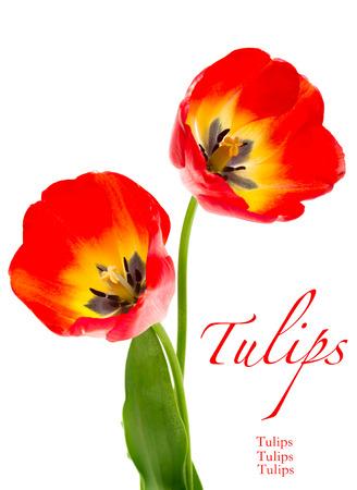 De lente rode tulpen die op wit worden geïsoleerd