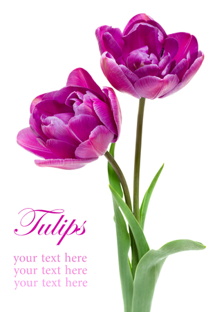 Lila dubbele Peony Tulip geïsoleerd op wit