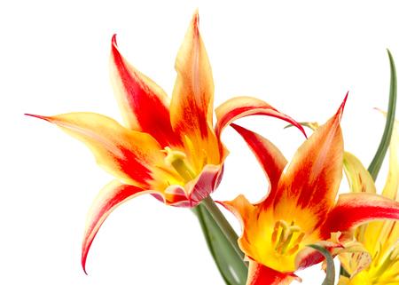 boeket van rode gele tulpen geïsoleerd op wit Stockfoto