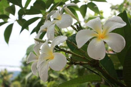 lightsome: White Plumeria flowers of background