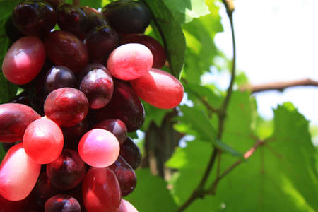 vegetate: Grape and Grape leaves background Stock Photo