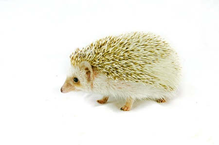 Porcupine  photo