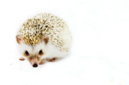Pygmy hedgehog  photo