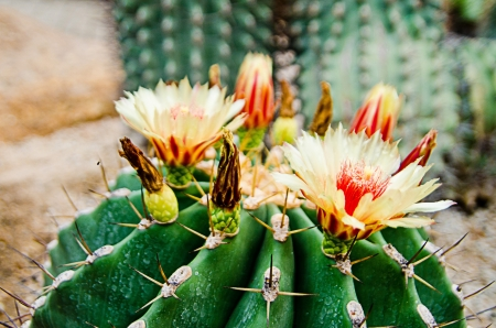 Flower of   cactus  photo