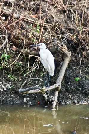 egret: Egret white egret standing