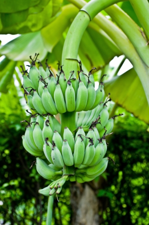 banana  tree photo