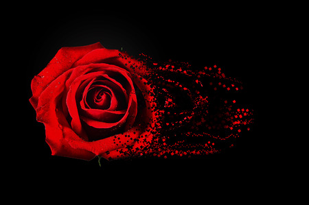 single red rose: red rose Stock Photo