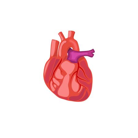 heart human Vector Illustration