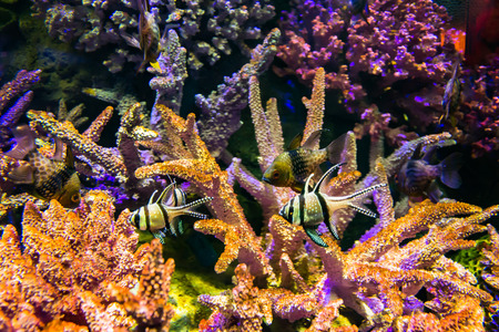 red coral colony: sea fish and coral