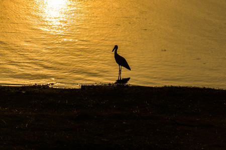 oscitans: Asian openbill on sunset background