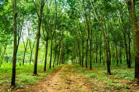 고무 나무 농장 개념에 매혹적인 숲 레인