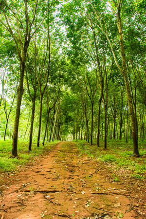 enchanting: Enchanting Forest Lane in a Rubber Tree Plantation Concept